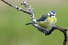 Неухоженная голубая синица садить на насест на ветви Стоковые Фотографии RF