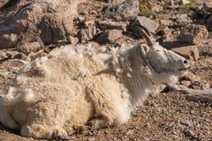 Неухоженная коза горы стоковое изображение