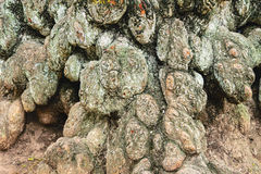 Нечетная gnarled, завязанная расшива старого дерева Стоковые Изображения RF