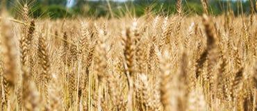 Неясное изображение желтого пшеничного поля - Triticum, Triticeae, злака, Angiosperms Стоковое фото RF