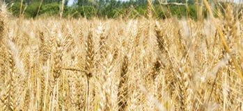 Неясное изображение желтого пшеничного поля - Triticum, Triticeae, злака, Angiosperms стоковые изображения rf
