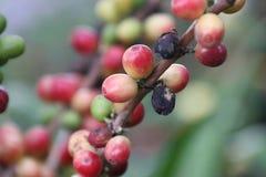 Не пока зрелый для кофейного зерна Стоковое Фото