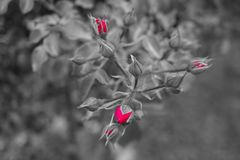 Не пока цвести красная роза, предпосылка в черной белизне стоковая фотография