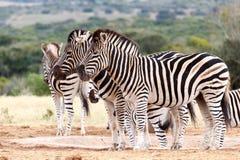 Не посмотрите камеру - зебру Burchell Стоковое Изображение