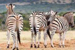 Не посмотрите, поцарапать мой бомжа - зебру Burchell Стоковые Изображения