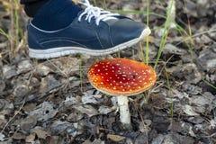 Не разрушьте красные пластинчатые грибы мухы стоковое изображение rf
