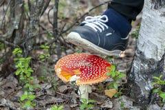 Не разрушьте красные пластинчатые грибы мухы стоковые изображения rf