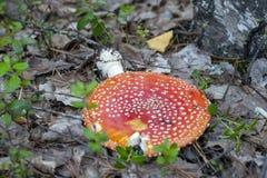 Не разрушьте красные пластинчатые грибы мухы стоковое фото rf