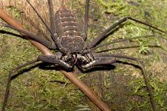 Не скорпион хлыста Стоковые Изображения RF
