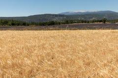Нива и лаванда fields около Sault и горы Венту на заднем плане Провансаль, стоковые фото