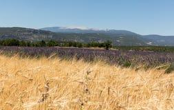 Нива и лаванда fields около Sault и горы Венту на заднем плане Провансаль стоковое изображение