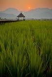 Нива риса Стоковая Фотография