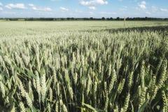 Нива с пшеницей в Германии Стоковые Изображения