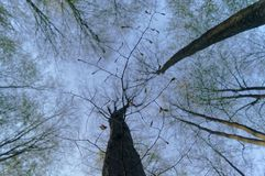 Нижние части высоких деревьев Стоковая Фотография RF