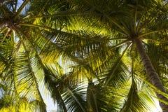 Нижний взгляд ветвей кокосовых пальм и неба стоковые изображения rf