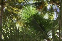 Нижний взгляд ветвей кокосовых пальм и неба стоковые фотографии rf