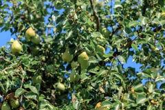 Нижний взгляд груш растя на дереве стоковые фото