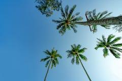 Нижний взгляд кокосовой пальмы на ясном голубом небе Лето и концепция пляжа рая пальма кокоса тропическая каникула территории лет стоковые фото