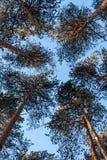 Нижний взгляд к верхним частям sunlit сосен в солнечном зимнем дне Стоковые Фотографии RF