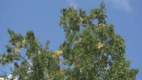 Нижний взгляд на березах отбрасывая ветер на фоне голубого неба с быстро плавая белыми облаками видеоматериал