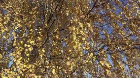 Нижний взгляд на желтом цвете березы выходит на фоне голубого неба в день осени солнечный сток-видео