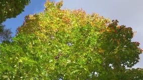 Нижний взгляд на клене с зеленая желтой и красным цветом выходит на фоне голубого неба в день осени солнечный видеоматериал