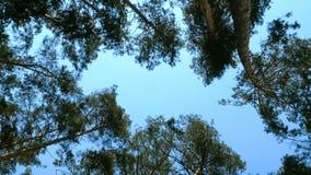Нижний взгляд сочной кроны высокорослой сосны в лесе против голубого неба на солнечный день сток-видео