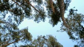 Нижний взгляд сочной кроны высокорослой сосны в лесе против голубого неба на солнечный день акции видеоматериалы