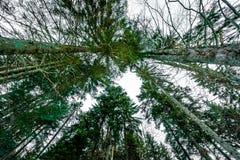 Нижний взгляд высокорослых старых деревьев в лесе в зиме Стоковое Изображение