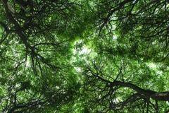 Нижний взгляд кроны дерева Стоковое Изображение RF