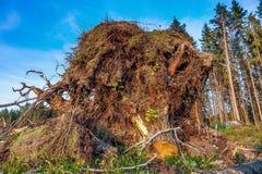 Нижний взгляд пня с корнями Стоковые Изображения