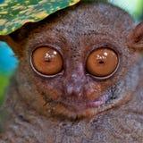 нижняя листьев более tarsier Стоковое фото RF