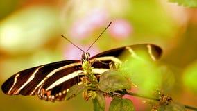 Нижняя сторона бабочки зебры longwing в aviary Стоковое Фото