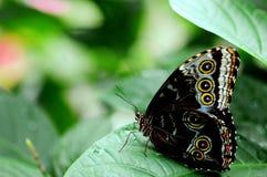 Нижняя сторона голубой бабочки Morpho Стоковые Фото