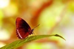 Нижняя сторона красной бабочки оправы на лист Стоковые Изображения