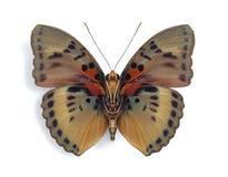 нижняя сторона euphaedra cyparissa стоковые изображения