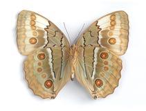 нижняя сторона stichopthalma louisa стоковая фотография rf