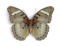 нижняя сторона themis euphaedra женская стоковые изображения rf