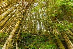 Нижняя съемка высоких сосен в лесе Стоковое фото RF