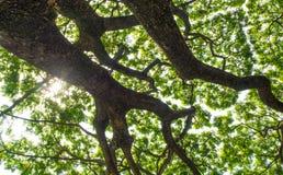 Низкая выгодная позиция к листьям дерева дождя, смотря до t стоковое фото