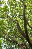 Низкая выгодная позиция к листьям дерева дождя, смотря до t стоковое изображение rf