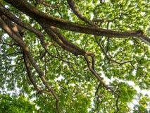 Низкая выгодная позиция к листьям дерева дождя, смотря до t стоковая фотография
