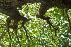 Низкая выгодная позиция к листьям дерева дождя, смотря до t стоковые изображения
