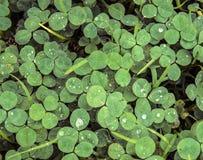 Низкая предпосылка клевера или shamrock зеленого цвета контраста с дождем падает Стоковые Изображения