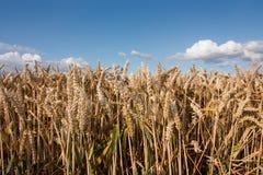 низкая пшеница лета n широко стоковые изображения rf