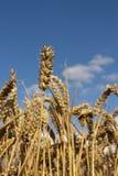 низкая пшеница точки зрения лета стоковое фото
