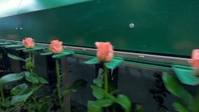 Низкий взгляд на розах стержня двигая дальше образовывая транспортер сток-видео