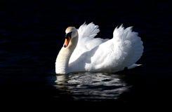 Низкий ключевой портрет мужского лебедя Стоковые Фотографии RF
