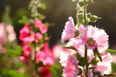 Низкий ключевой свет природы - пинк цветет предпосылка Стоковая Фотография