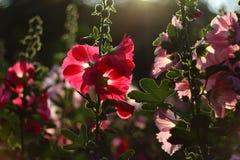 Низкий ключевой свет природы - пинк цветет предпосылка Стоковая Фотография RF